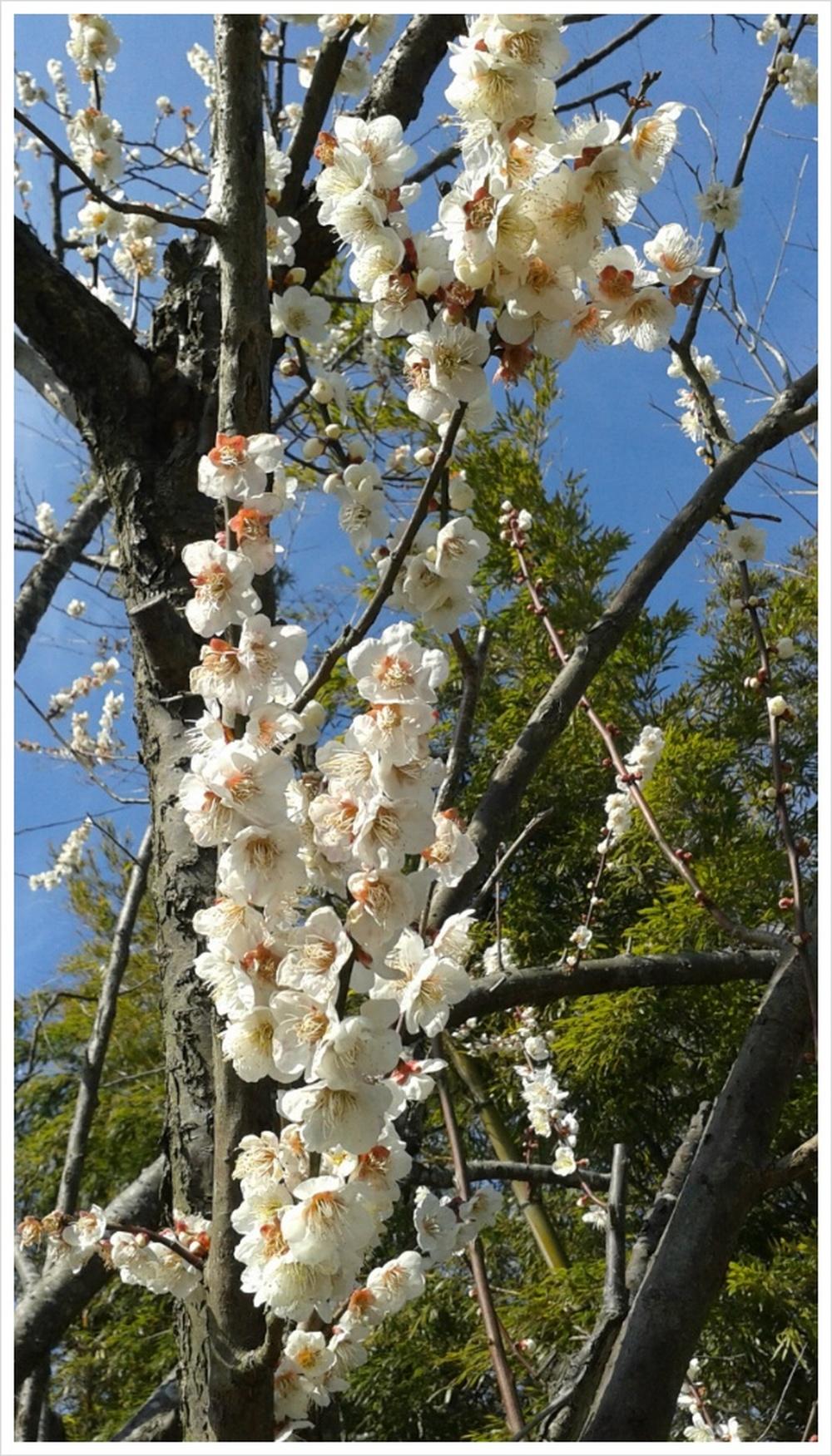 매화나무꽃