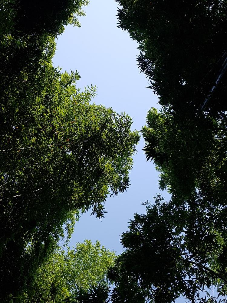 대숲속에서본 하늘