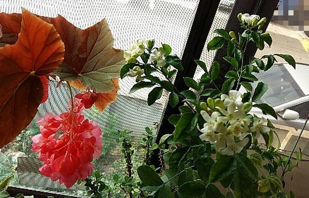 목베고니아꽃과 쟈스민꽃이 피었어요..