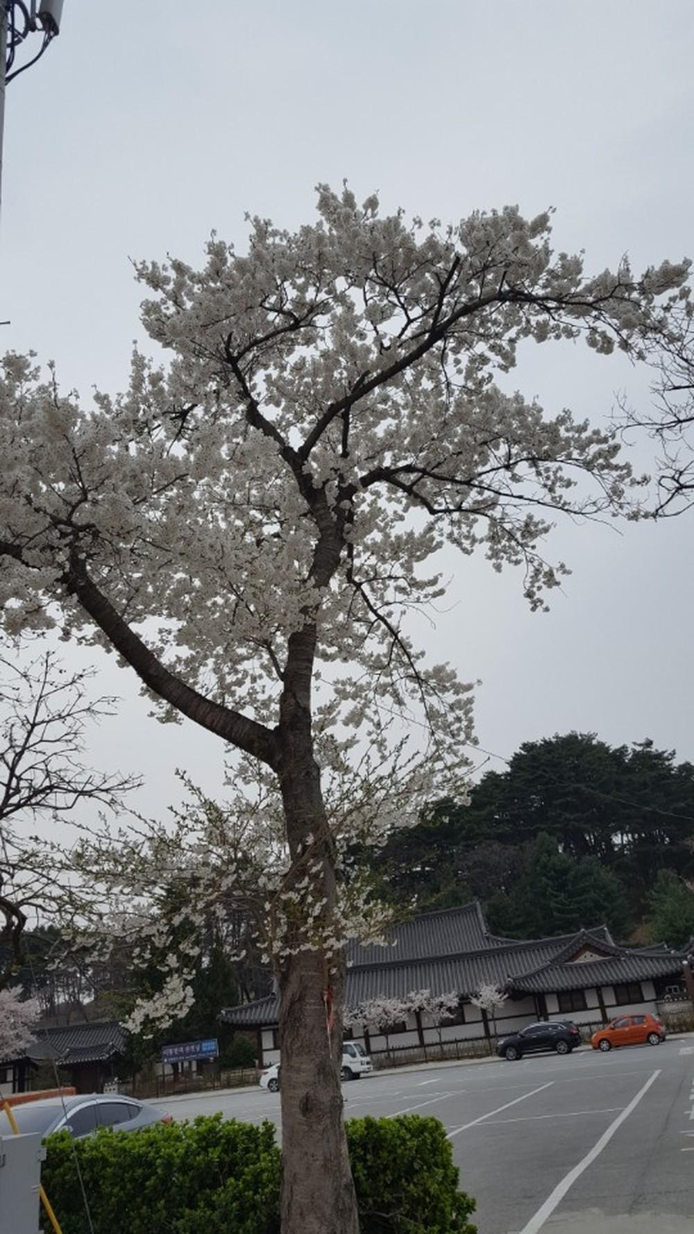 강릉 선교장 벚꽃