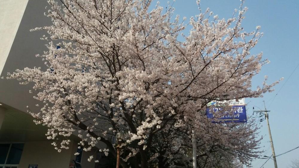 벚꽃이예요
