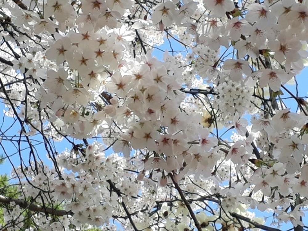 벚꽃이 피었어요~