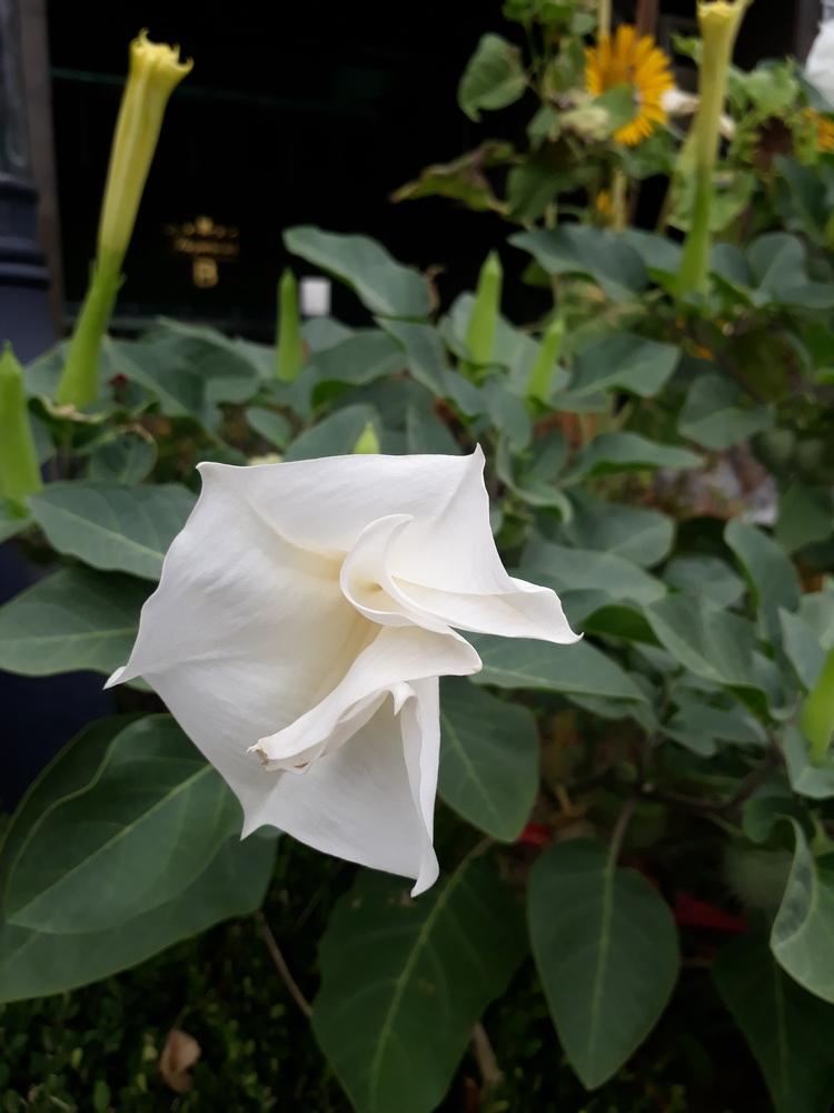 흰색 독말풀