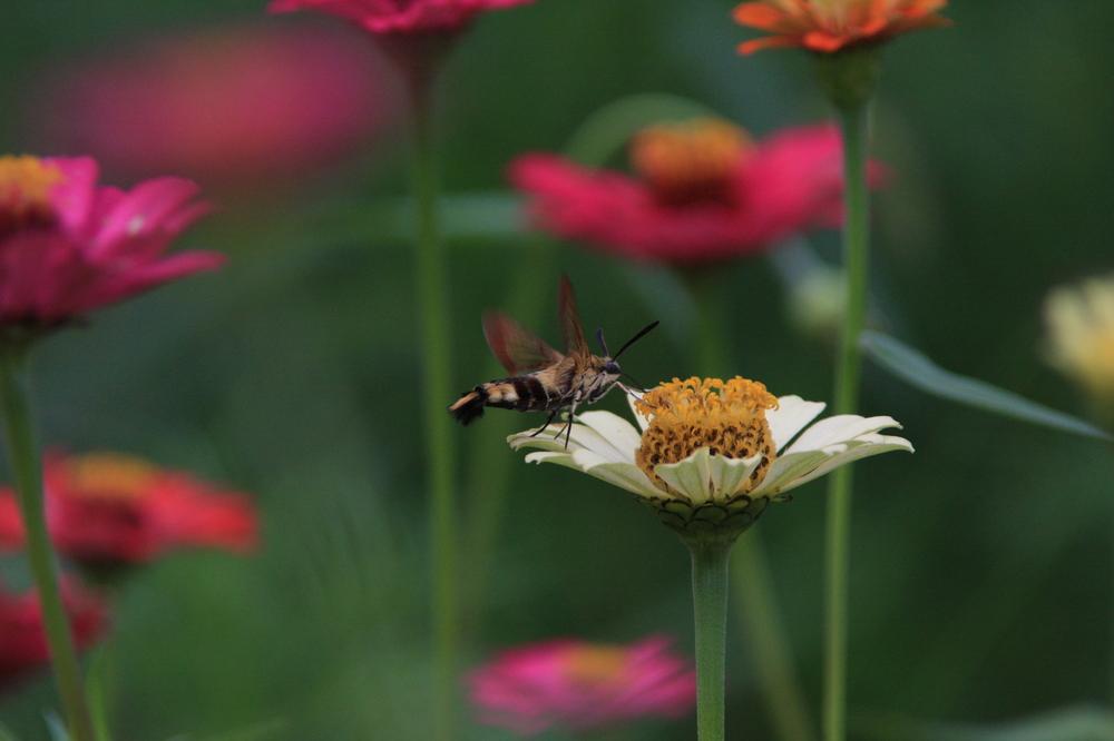 나비와 백일홍