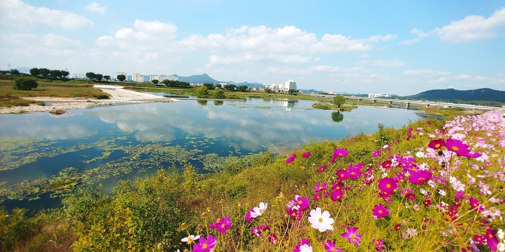 강변의 코스모스