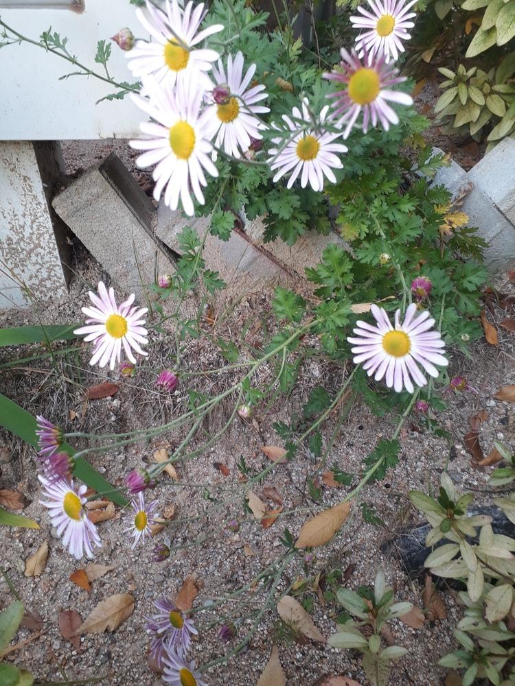 분홍빛 구절초