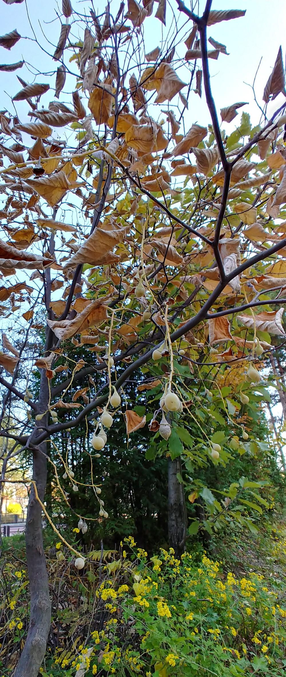 쪽동백나무