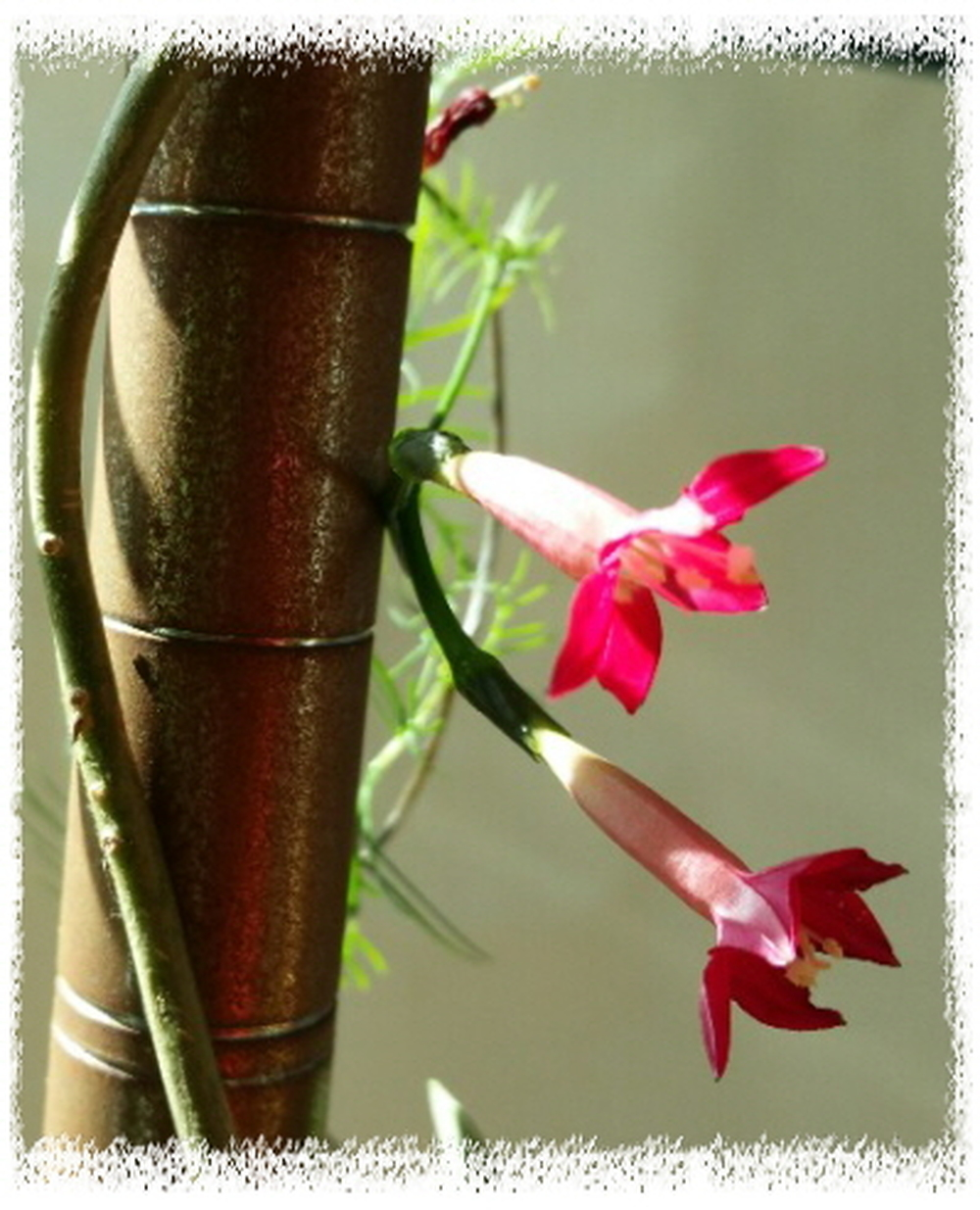 새깃 유홍초