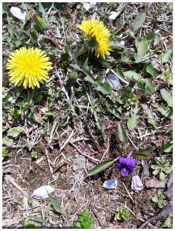 봄맞이꽃도