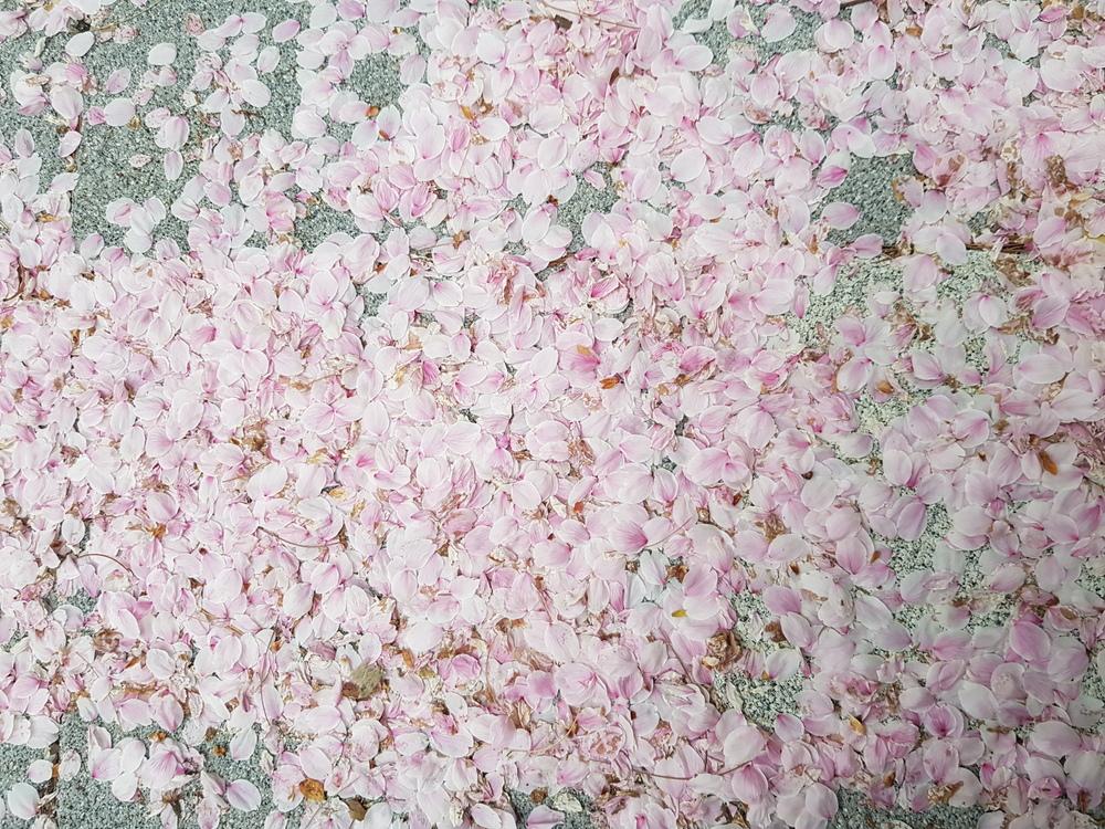 벚꽃 엔딩