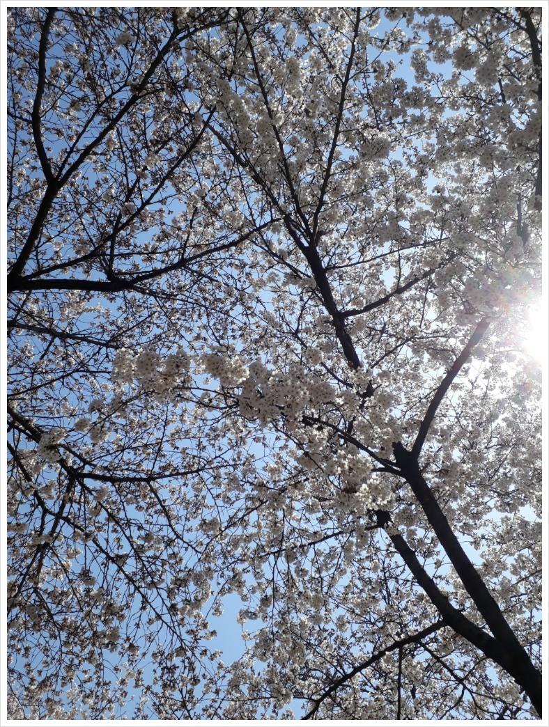벚나무꽃피다