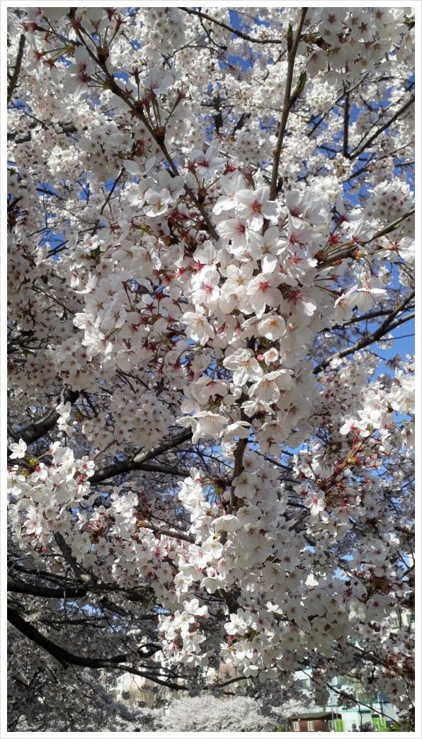 벚꽃이 떨어진다