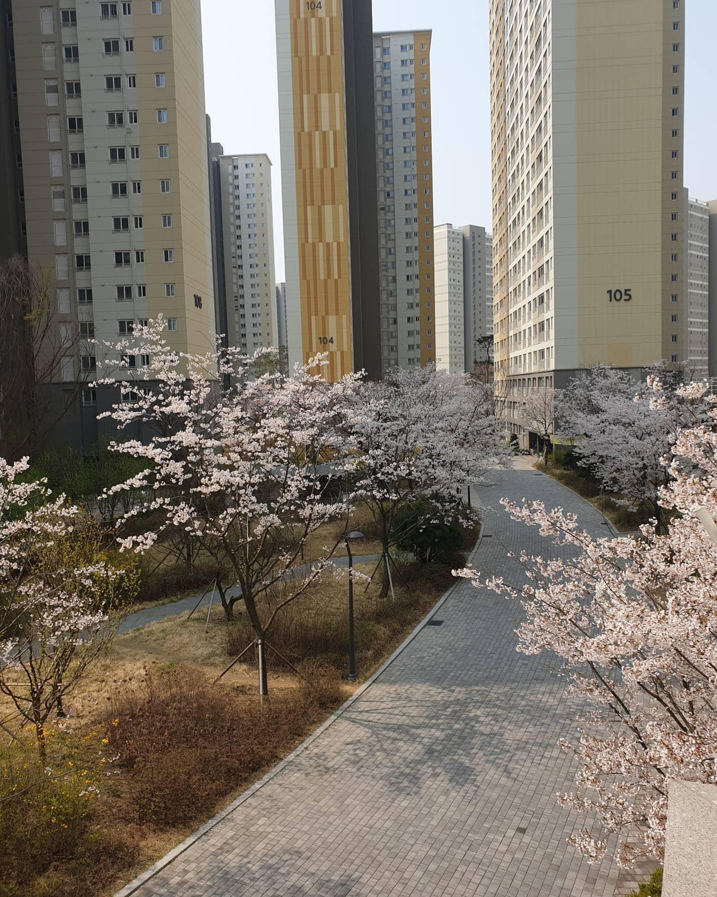 우리집으로 벚꽃 구경오..