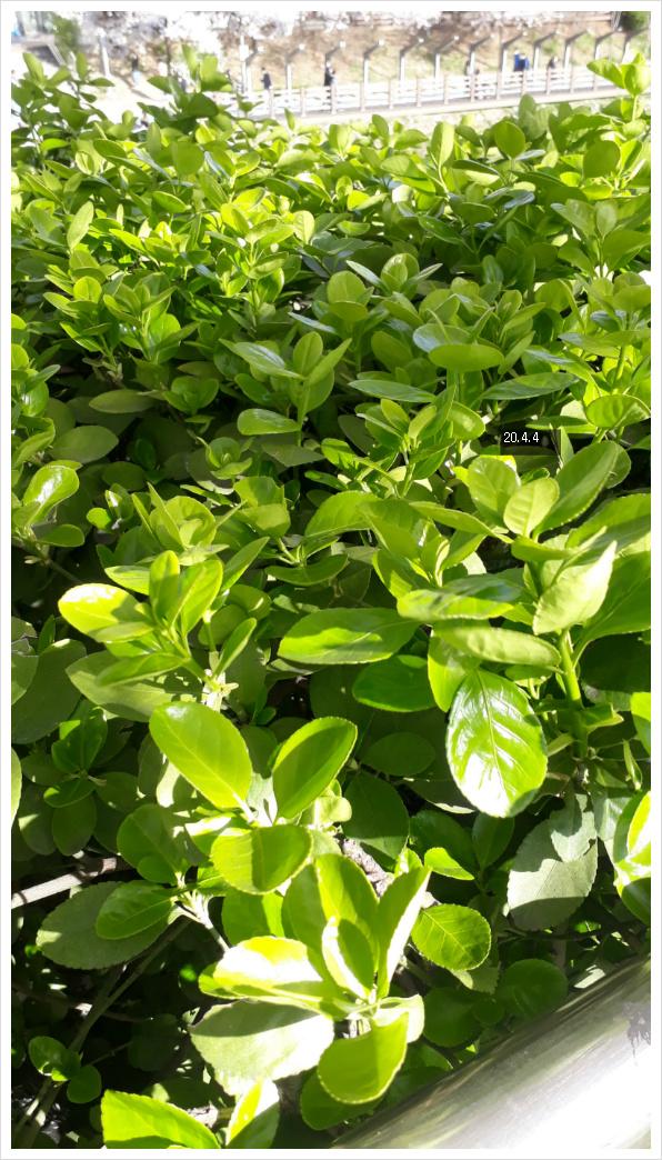 사철나무 연초록