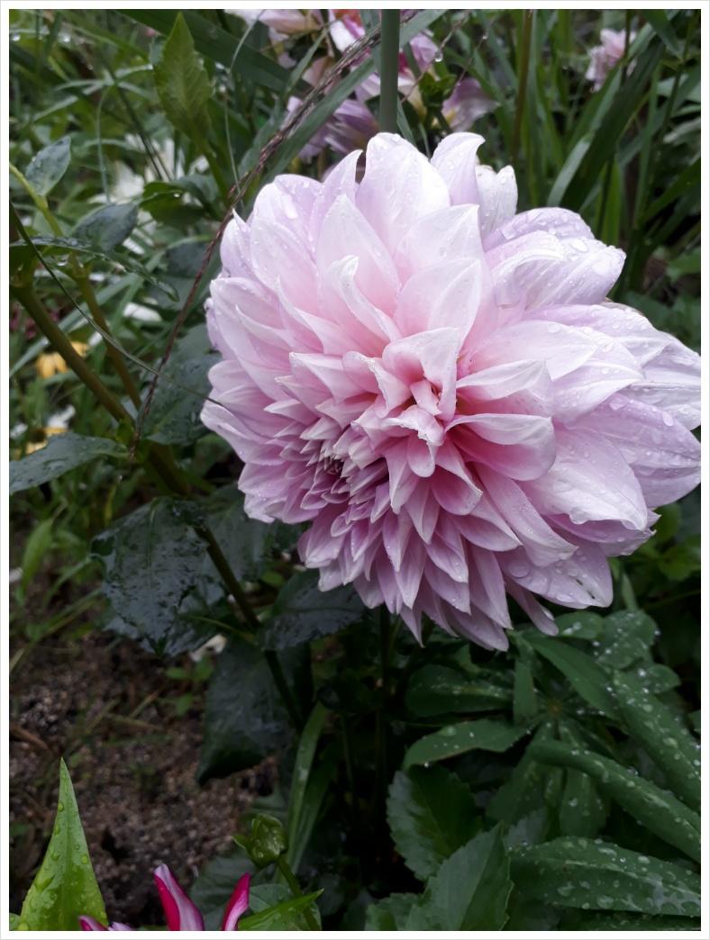 빗물머금은 다알리아꽃