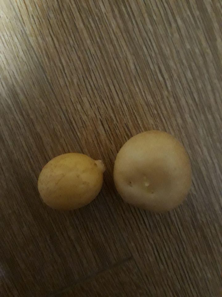 감자를 캐다